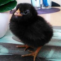 Marans bruteier schwarz kupfer bruteier hühner braune eier küken
