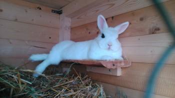 Statement zu den derzeit grassierenden Tierseuchen: Kaninchensterben, Geflügelsterben usw.  kaninchensterben geflügelsterben Unser Zwergkaninchen namens