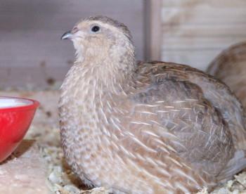 Geflügelseuche H5N8 in Sachsen: Stallpflicht für alle Geflügelarten und Verbot aller Geflügelausstellungen stallpflicht sachsen ausstellungen h5n8 Stallpflicht in Sachsen - Unsere Wachteln müssen im Stall bleiben