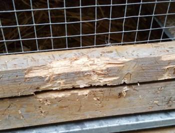 Für Wachteln ungeeignet - Warnung vor Kleintier-Billigställen aus dem Baumarkt stall wachtelstall kleintierstall Kleintierstall nach Raubtierangriff (Foto: Strickroth)