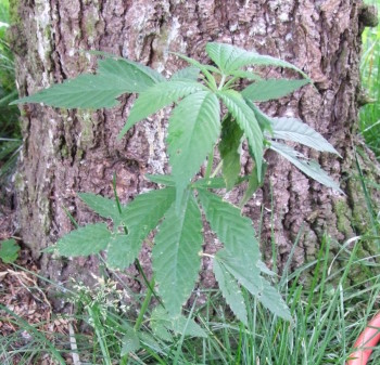 Upps! Was wächst denn da unter dem Vogelhäuschen? Ist das etwa eine Hanfpflanze? hanf,thc,nutzhanf,vogelfutter,drogen,hanfanbau Hanfpflanze unter dem Vogelhäuschen?