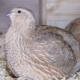 Geflügelseuche H5N8 in Sachsen: Stallpflicht für alle Geflügelarten und Verbot aller Geflügelausstellungen