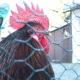 Vogelgrippe in Sachsen: Drei Monate Stallpflicht für Geflügel und kein Ende abzusehen