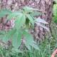 Upps - Was wächst denn da unter dem Vogelhäuschen? Ist das etwa eine Hanfpflanze?